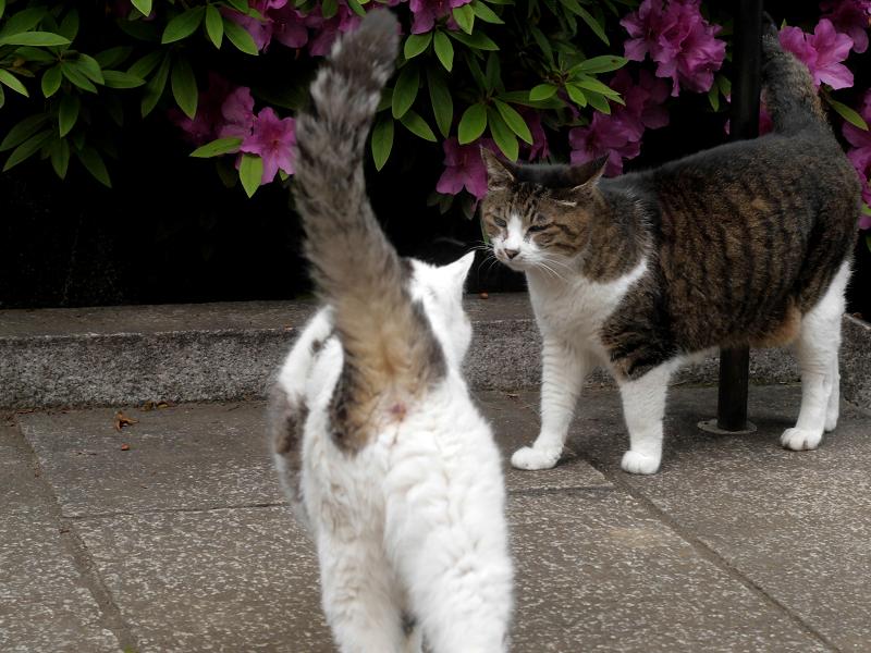 ツツジの下のキジ白猫と白キジ猫1