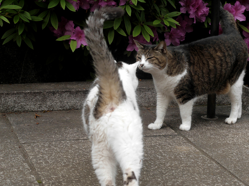 ツツジの下のキジ白猫と白キジ猫2