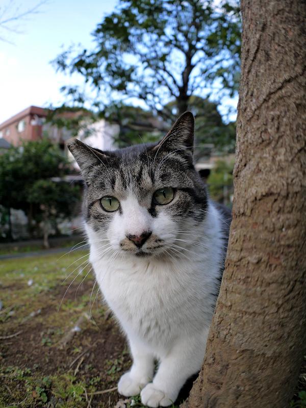木の横のキジ白猫1