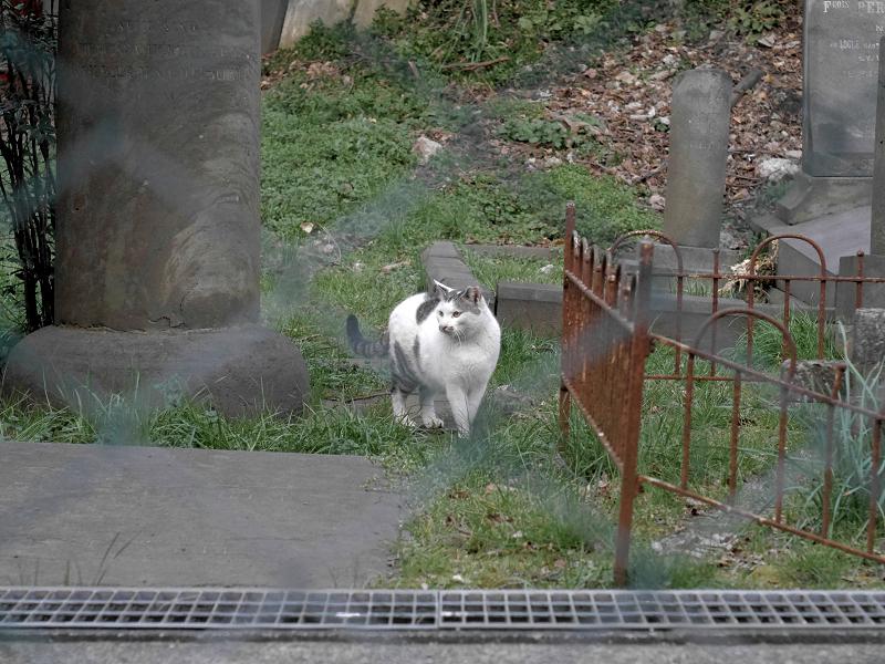 金網の向こうにいた白キジ猫1
