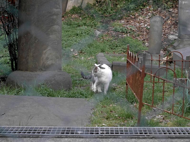 金網の向こうにいた白キジ猫2