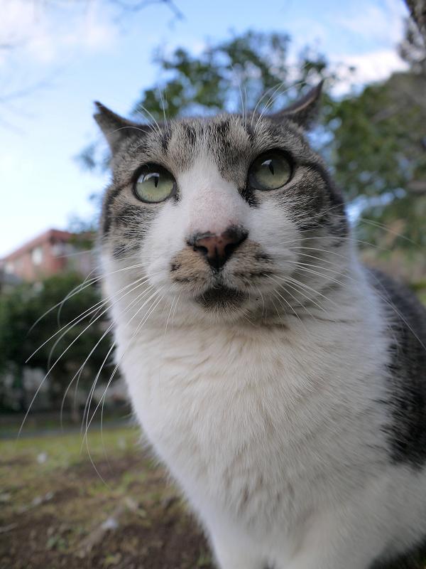 木の横のキジ白猫3