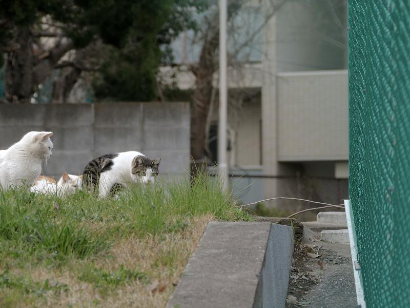 フェンスの向こう側の猫たち3