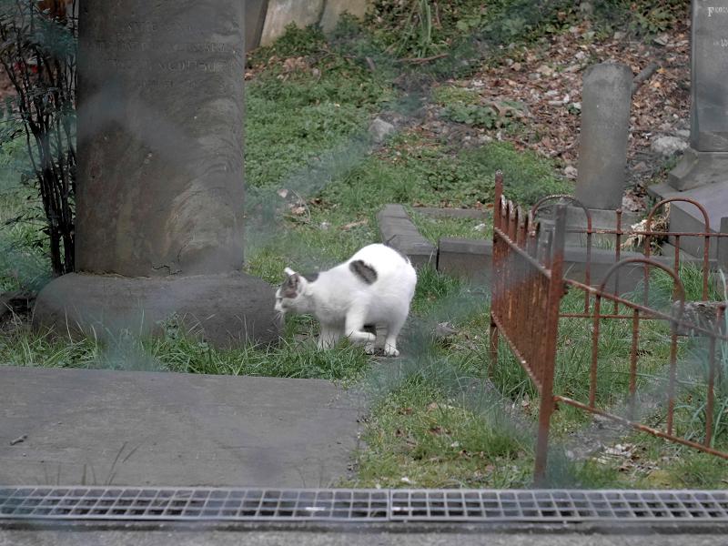 金網の向こうにいた白キジ猫3