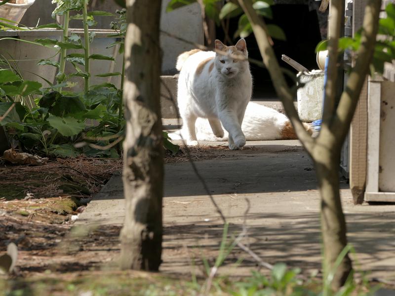 奥から戻ってきた白茶猫1