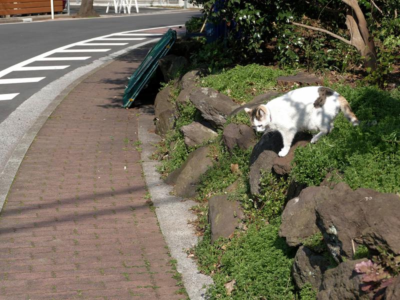 岩場草むらから出て来た白キジ猫1