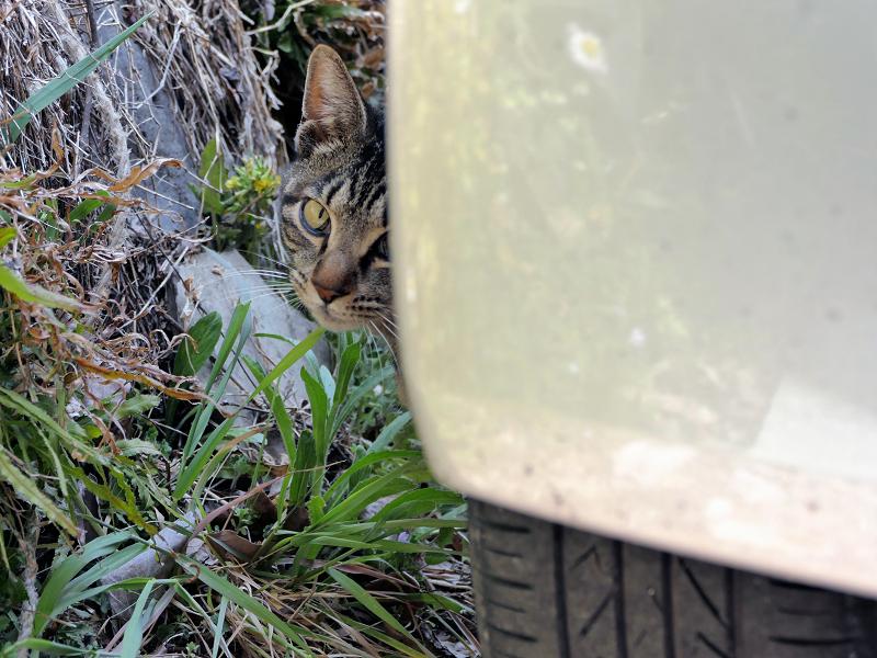 軽自動車の陰から顔を出すキジトラ猫1