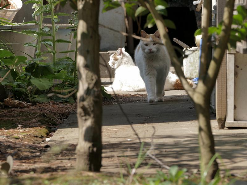 奥から戻ってきた白茶猫2