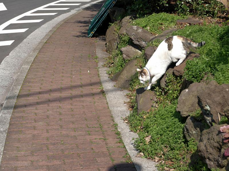 岩場草むらから出て来た白キジ猫2