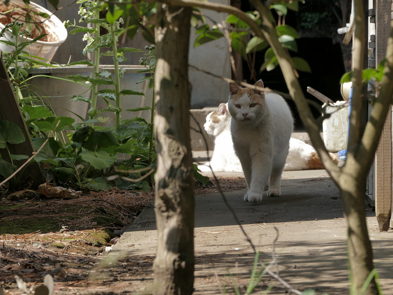 奥から戻ってきた白茶猫3