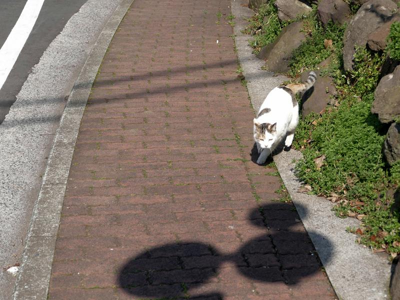 岩場草むらから出て来た白キジ猫3