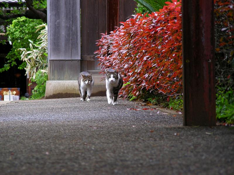 赤い色の門前の猫たち2