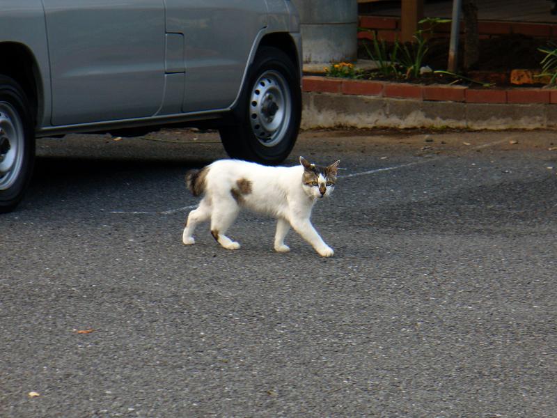 駐車場を歩く猫2