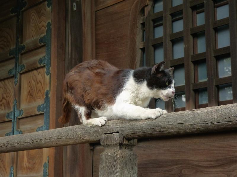 欄干でリズミカルに動く黒白猫1