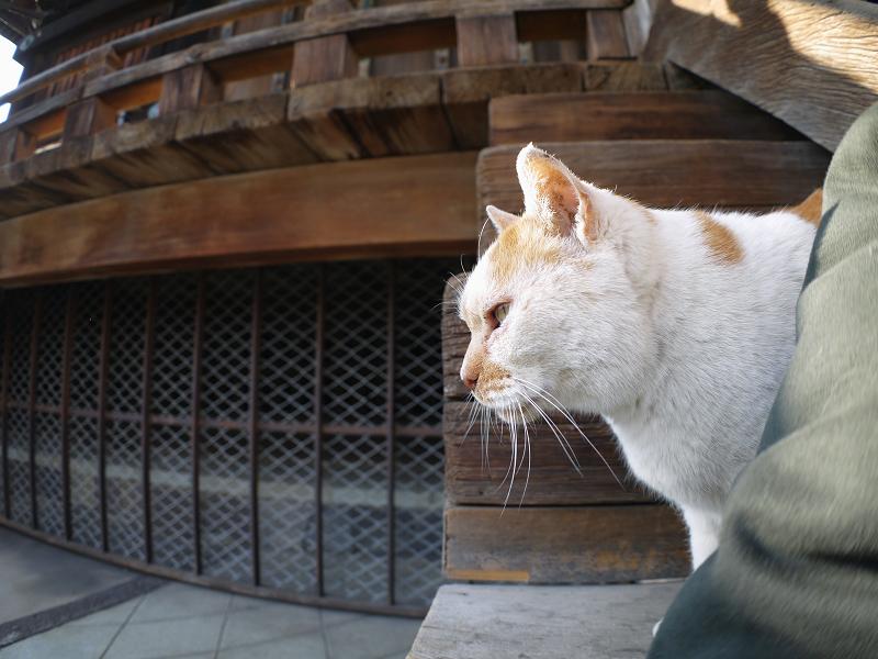階段の端から覗く白茶猫1