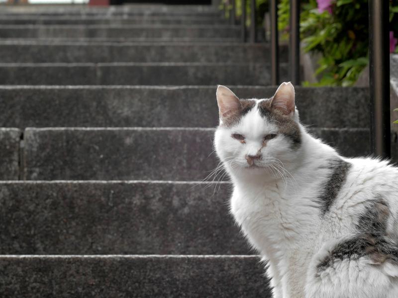 階段と白キジ猫1