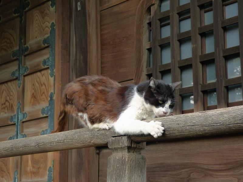 欄干でリズミカルに動く黒白猫2