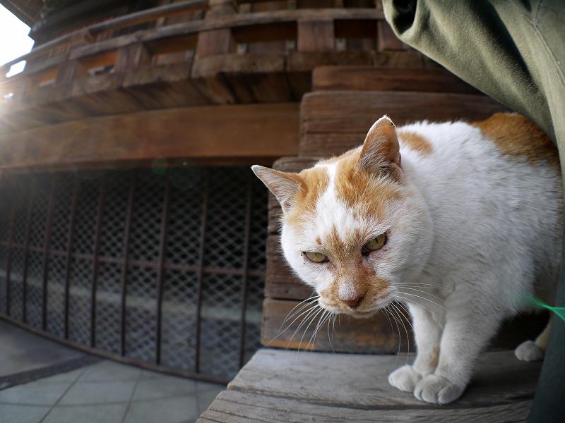 階段の端から覗く白茶猫2