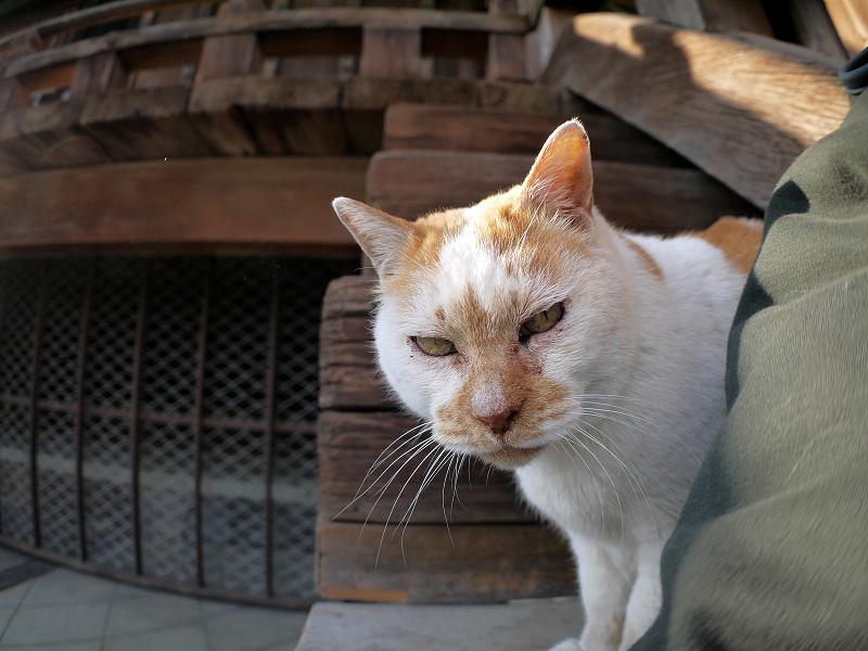 階段の端から覗く白茶猫3