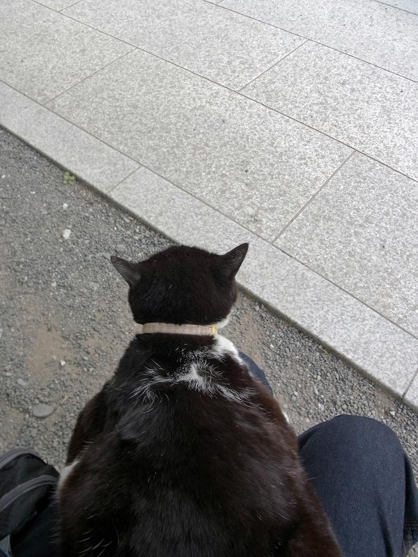 膝に乗せられる黒白猫