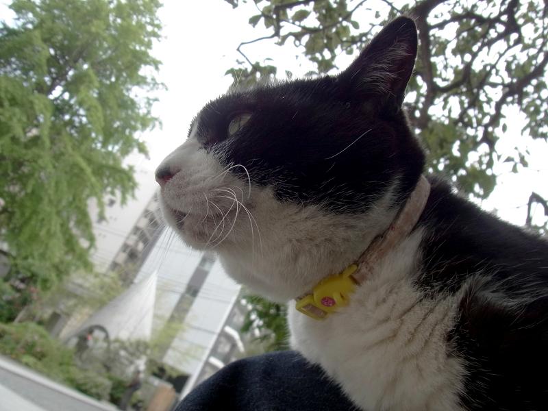 膝に乗った黒白猫