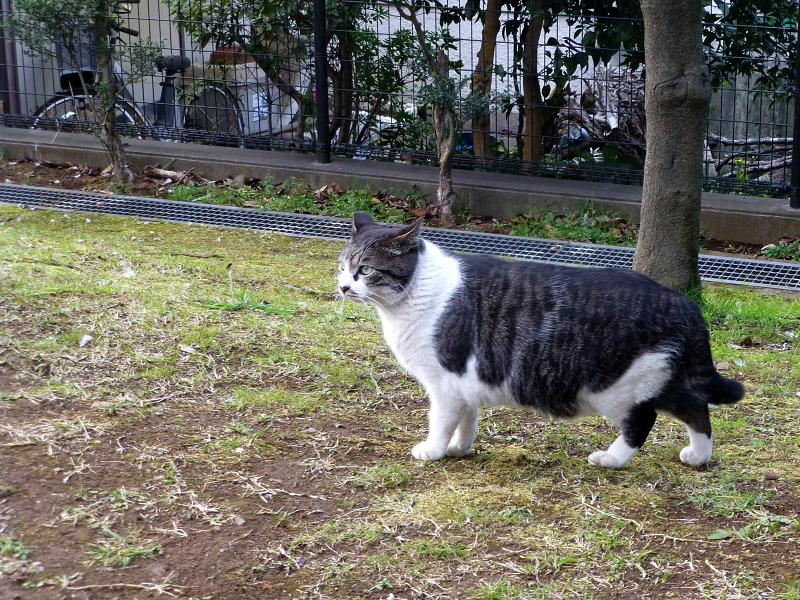 草むらを移動するキジ白猫1