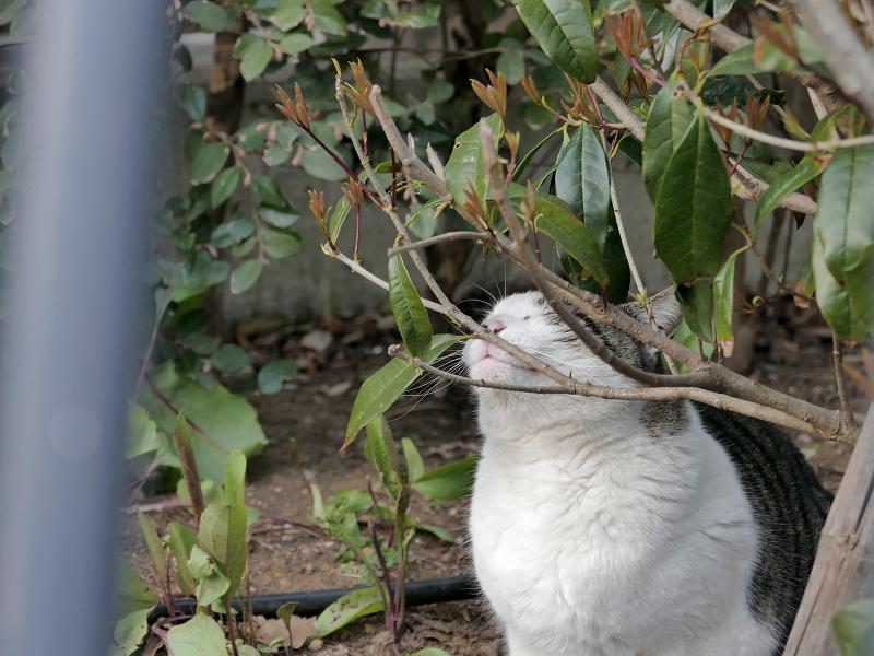 小枝に擦り付けるキジ白猫2