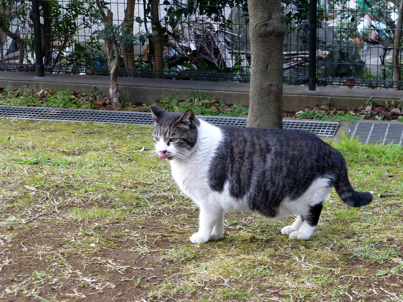 草むらを移動するキジ白猫2