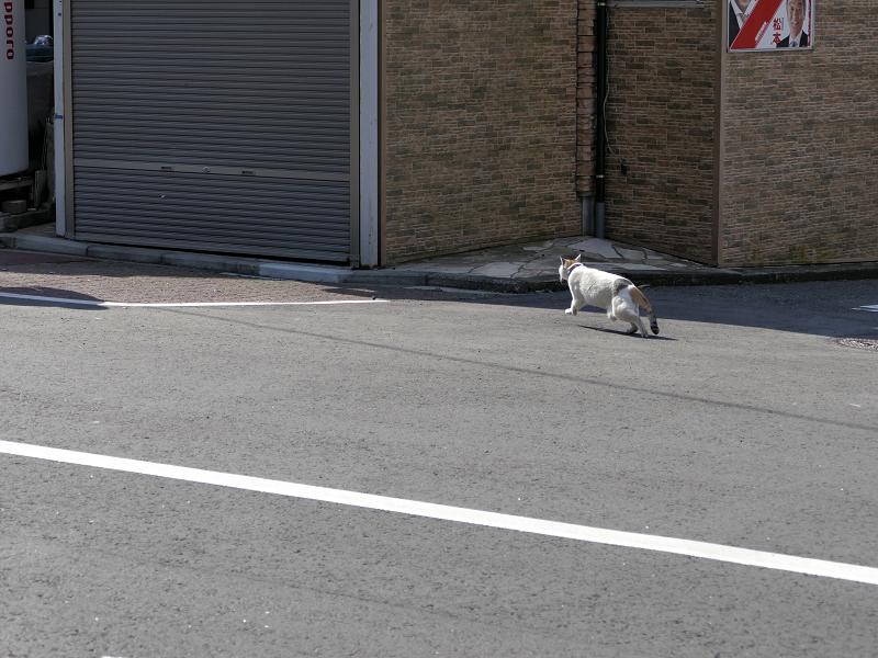 道路をかっ飛ぶ白三毛猫1