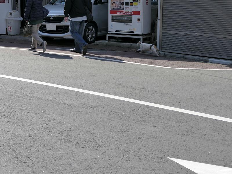 道路をかっ飛ぶ白三毛猫3