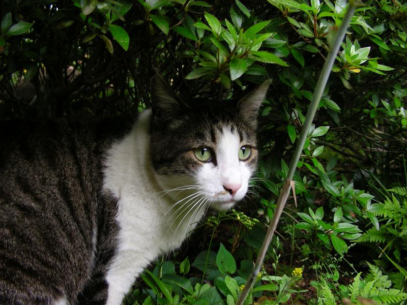 近くに寄って来たキジ白猫2