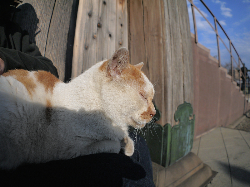 膝の上で夕日を受けてる白茶猫1