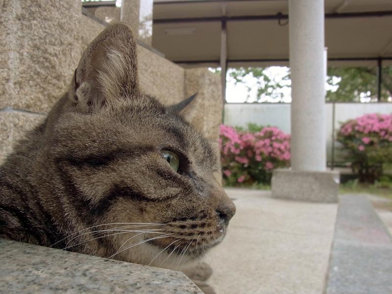 眠そうなキジトラ猫1