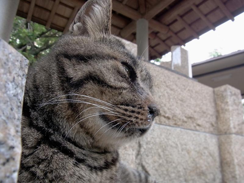 眠そうなキジトラ猫2