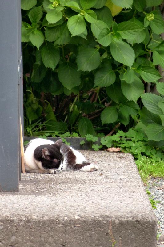 境内端っこの白黒猫5