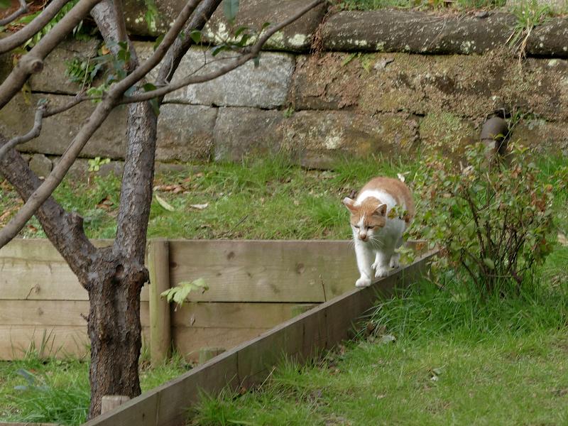 木の柵の上を歩く茶白猫1