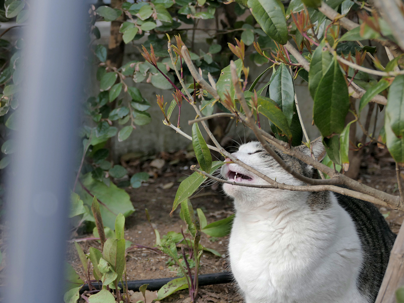 小枝で欠伸するキジ白猫1