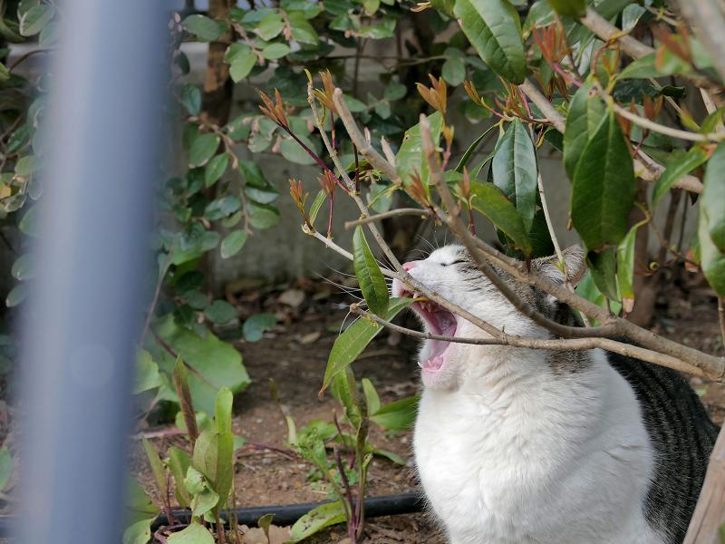 小枝で欠伸するキジ白猫2