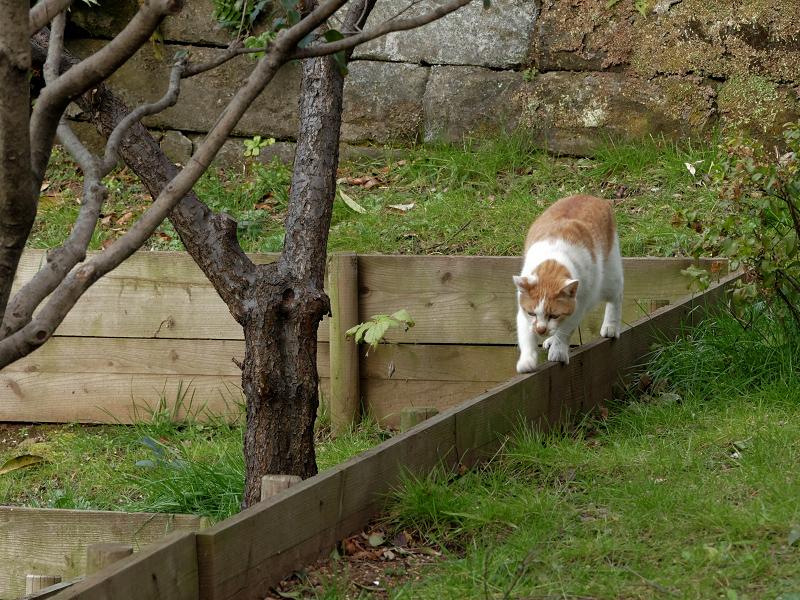 木の柵の上を歩く茶白猫3