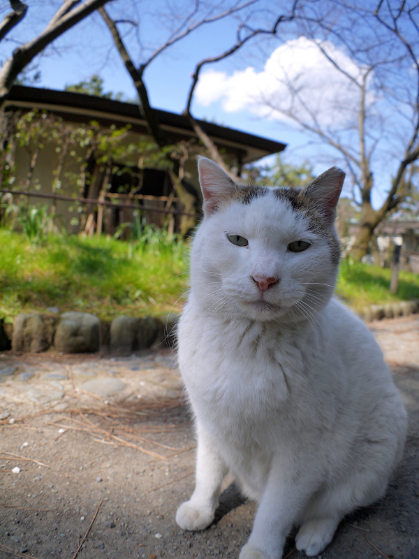 奥から出て来た白キジ猫