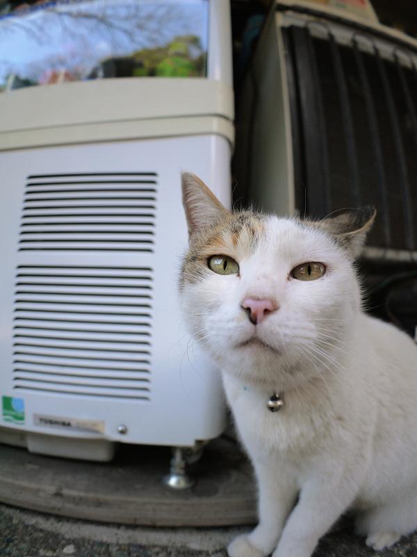 白三毛猫のアップ2