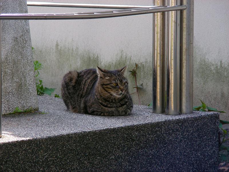 オブジェの横で香箱のキジトラ猫1