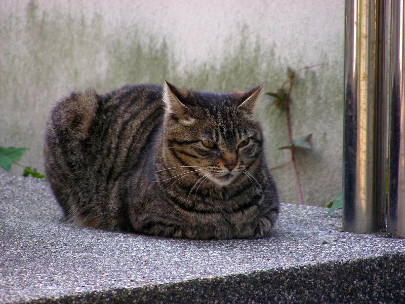 オブジェの横で香箱のキジトラ猫3