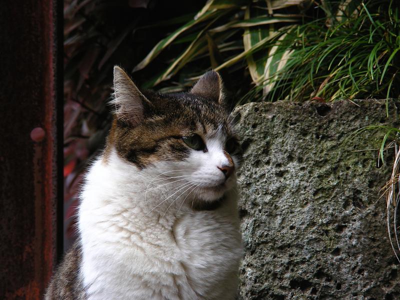 参道のキジ白猫3
