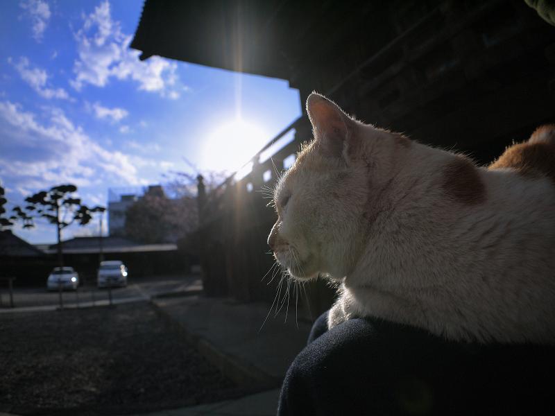 膝に乗って逆光を浴びてる白茶猫1