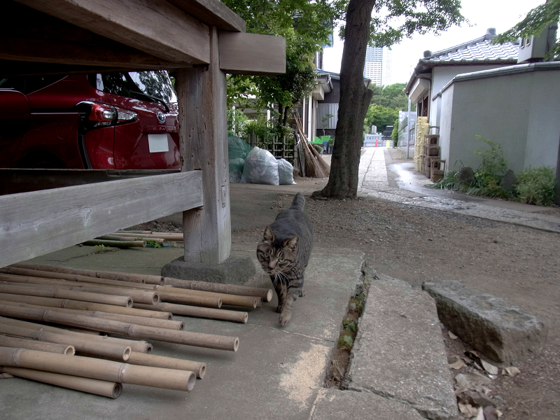 やって来るキジトラ猫1