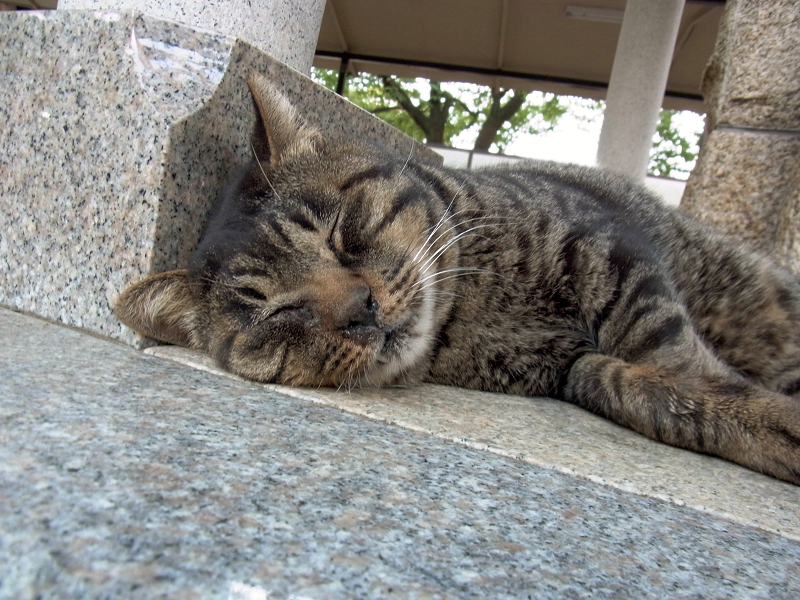 寝てしまったキジトラ猫1