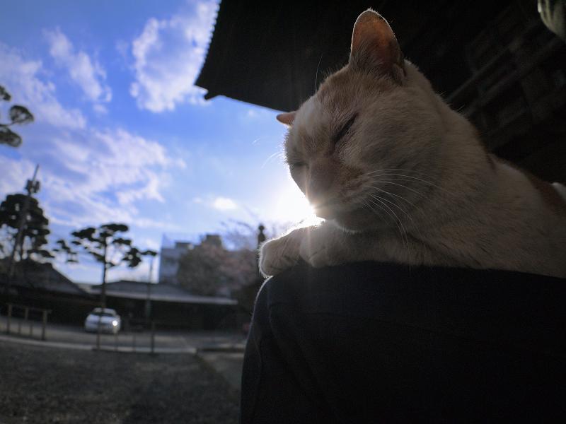 膝に乗って逆光を浴びてる白茶猫2