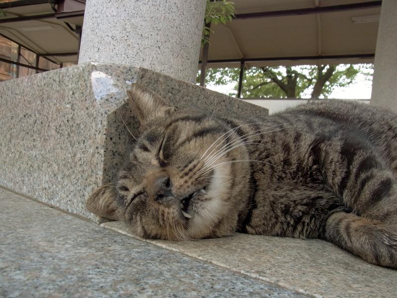 寝てしまったキジトラ猫2