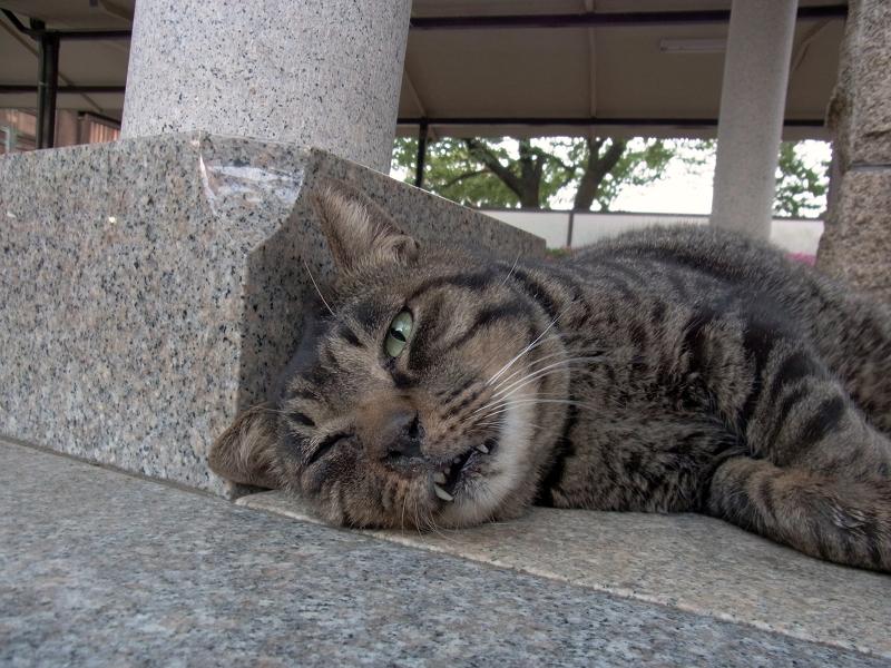 寝てしまったキジトラ猫3